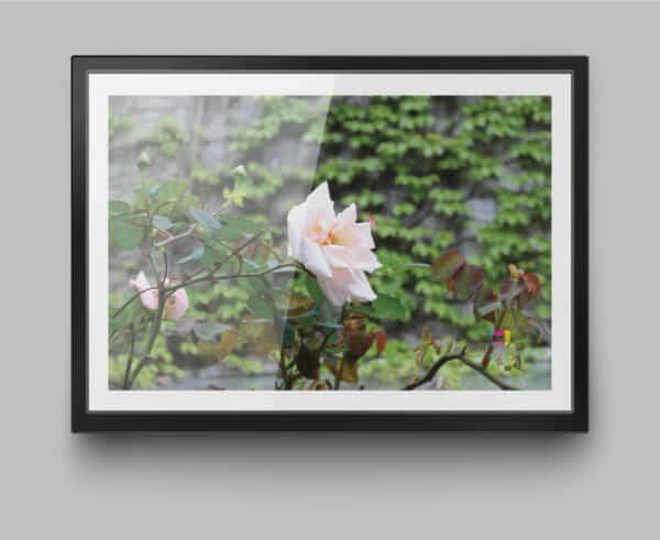 a4-print-richmond-roses-by-genevieve-engelhardt-935129-genengelhardt