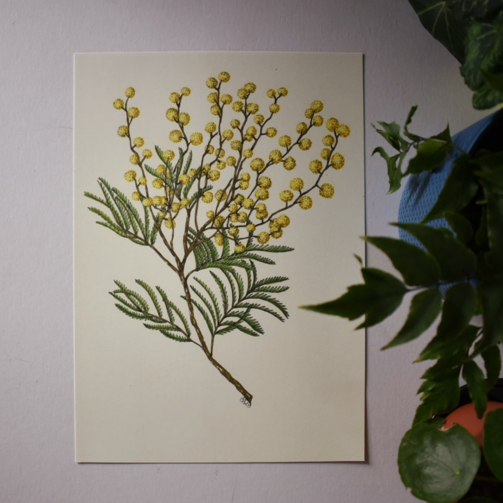 'Wattle' A4 Art Print Botanical Collection Sarah Sheldon Art By A Vibrant Nest