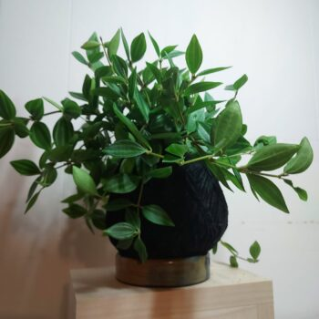 peperomia-rocca-verde-kokedama-by-ife-products-and-community IFEPC 258791