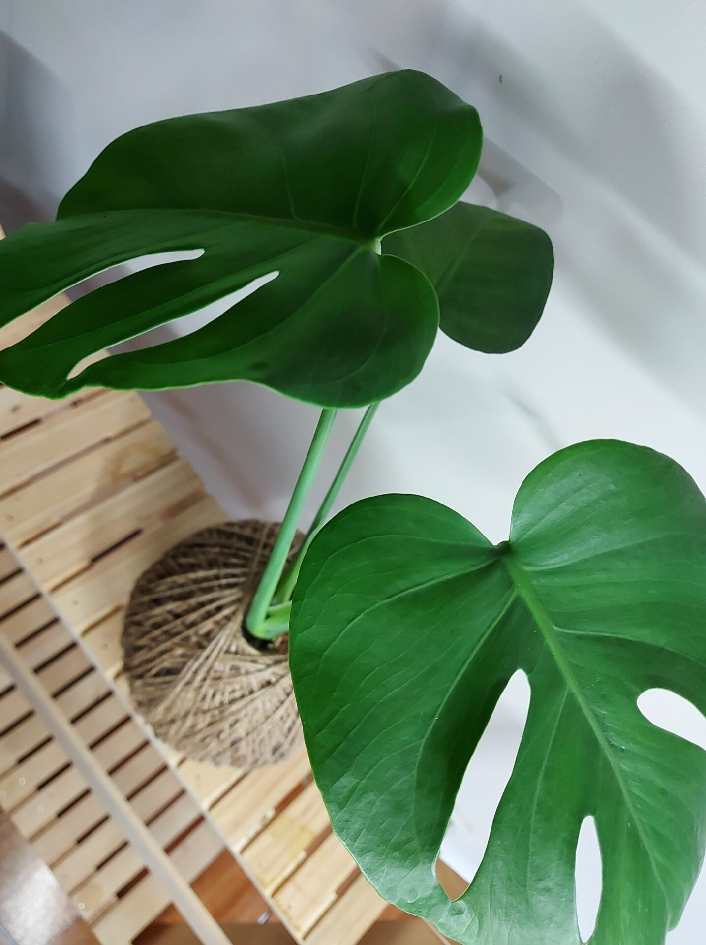 Monstera Deliciosa Kokedama By IFE Products And Community