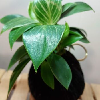 philodendron-birkin-kokedama-by-ife-products-and-community IFEPC 294018