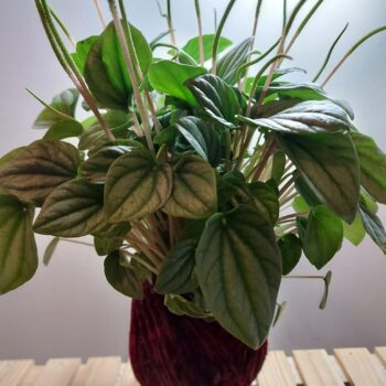 peperomia-moonlight-kokedama-by-ife-products-and-community-by-IFEPC
