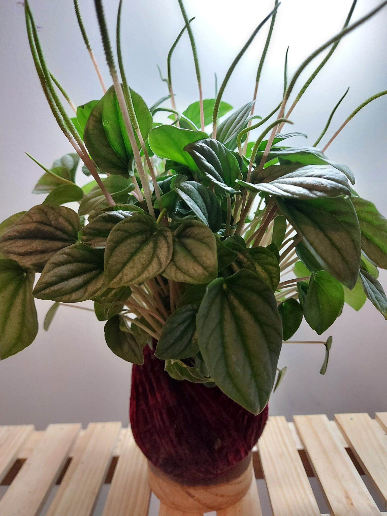 Peperomia Moonlight Kokedama By IFE Products And Community