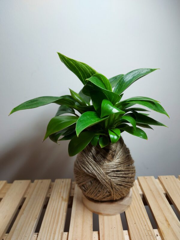 kokedama-stand-by-ife-products-and-community-by-IFEPC