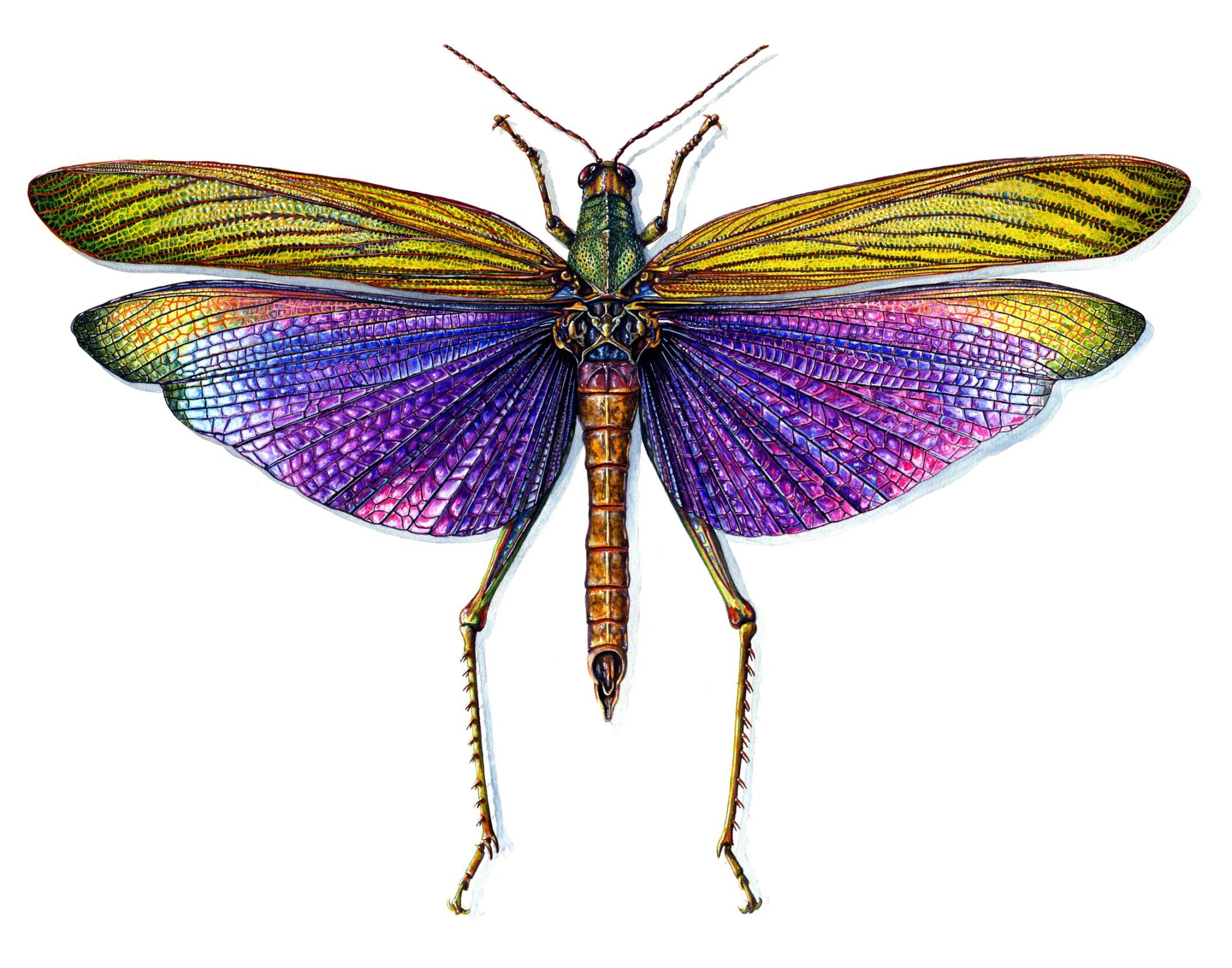 Purple-Winged Grasshopper By Martha Iserman (Petals And Wings Exhibition)
